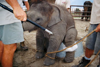 PETA petitions OSHA for Elephant Protection Rule