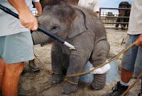 PETA petitions OSHA for Elephant Protection Rule