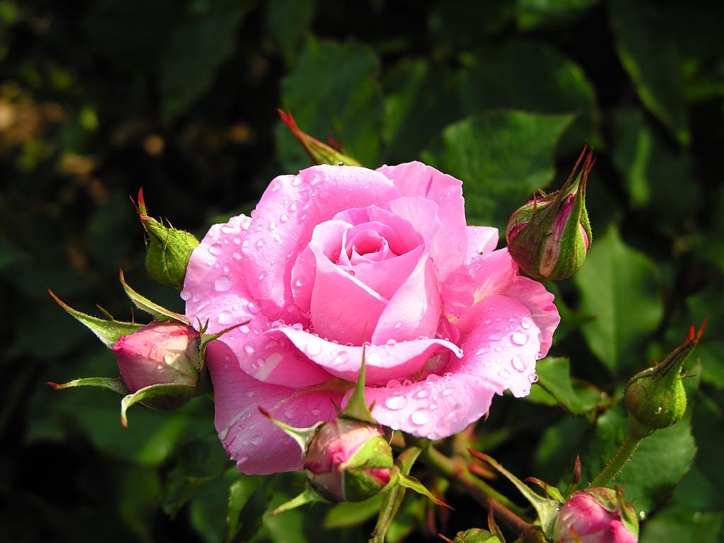 get images beautiful roses for you