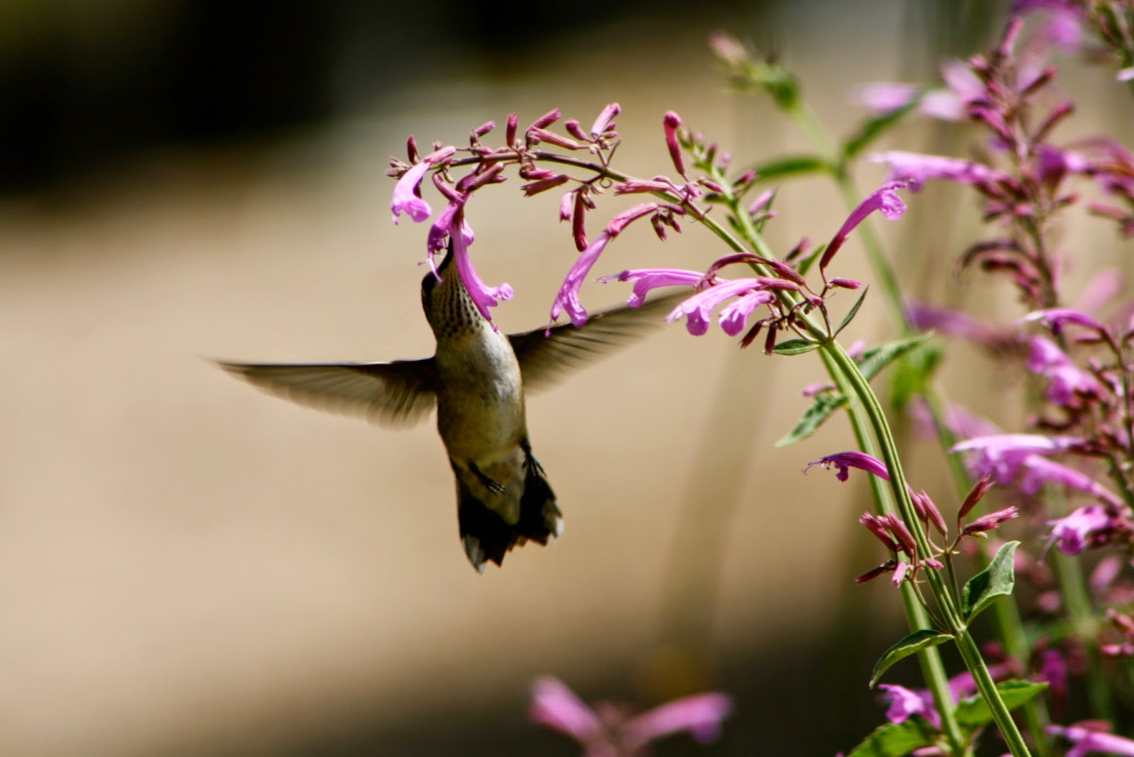 Agastache with hummingbird
