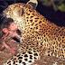 Leopardo cuida de bebê macaco após matar a mãe do filhote. Assista!