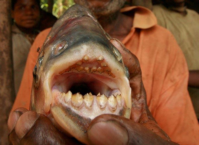 Water Monitor Teeth