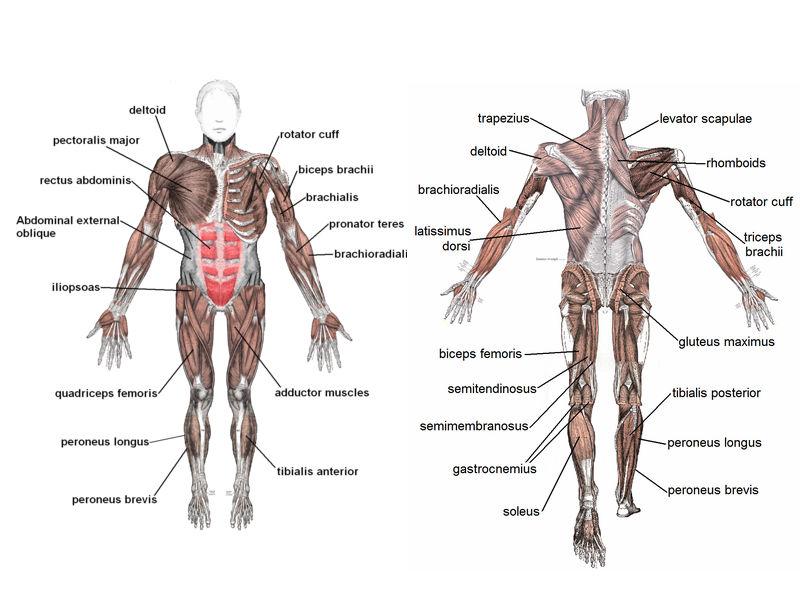 Anatomy Made Easy: Get under your skin definition