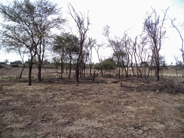 Cutting down of babool trees in vellalore coimbatore