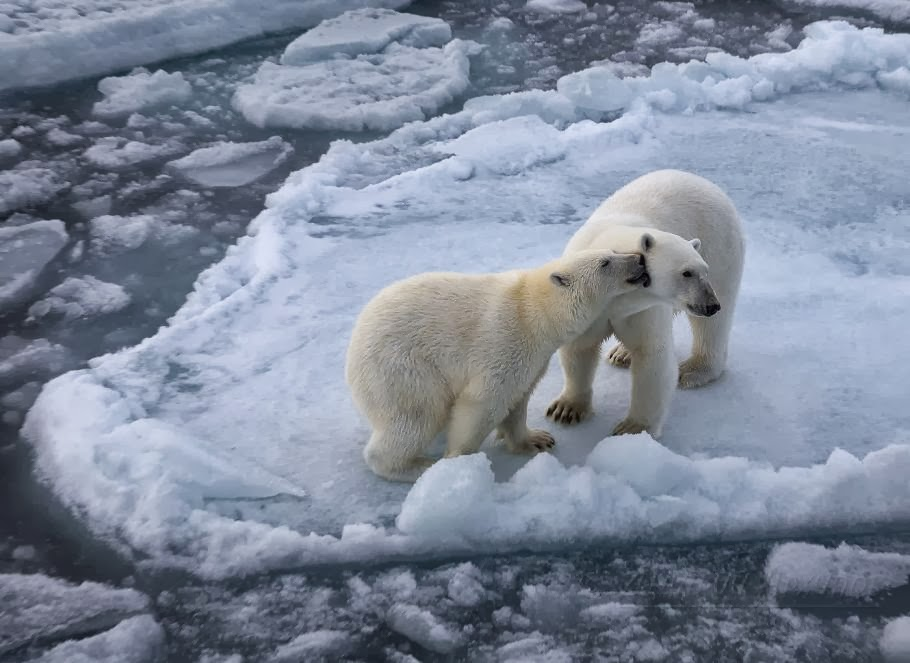 Incredibly Awesome Polar Bears Photography