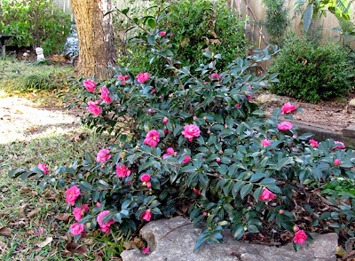 DivasoftheDirt, Camellia