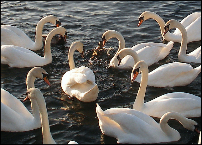 photo of The ugy duckling and his beautiful family of swans