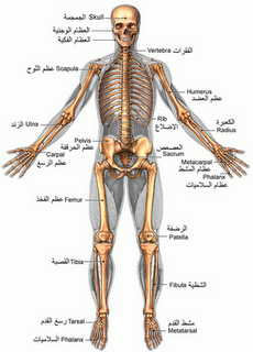 كم عدد العظام في جسم الإنسان ؟؟