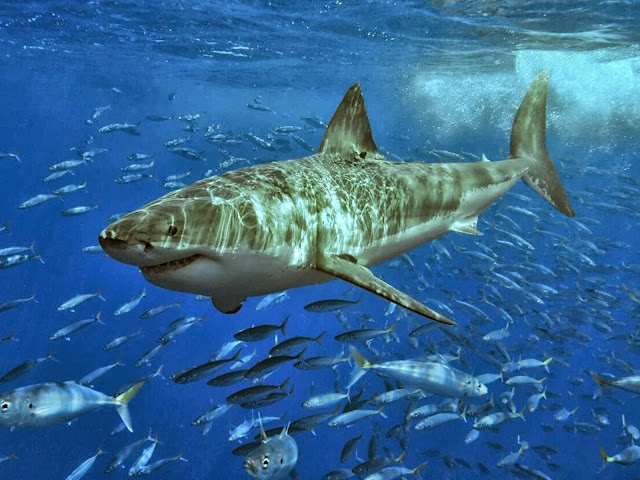 акула среди рыб
