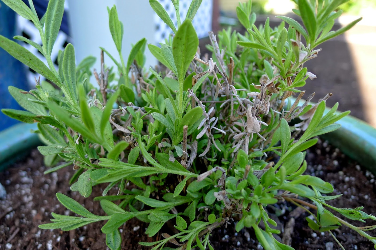 Lady Lavender, edible landscaping