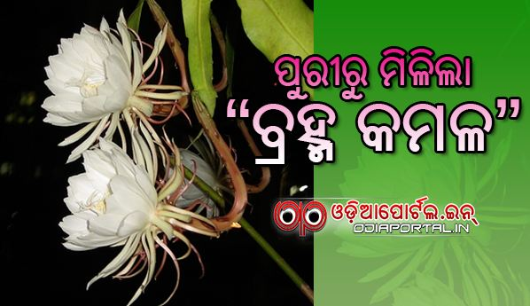Very Rare *Brahma Kamal* Flower Found From Biswalpada Village, Puri