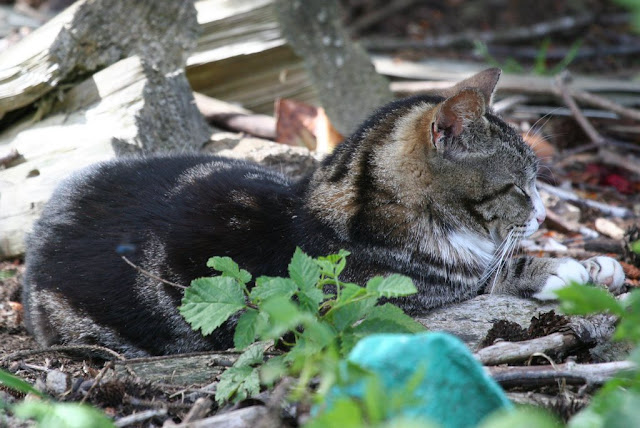 Bailey the tabby tux feral cat, resting