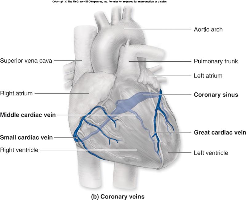 Dr. Wheat\'s Biology Blog: Coronary Circulation