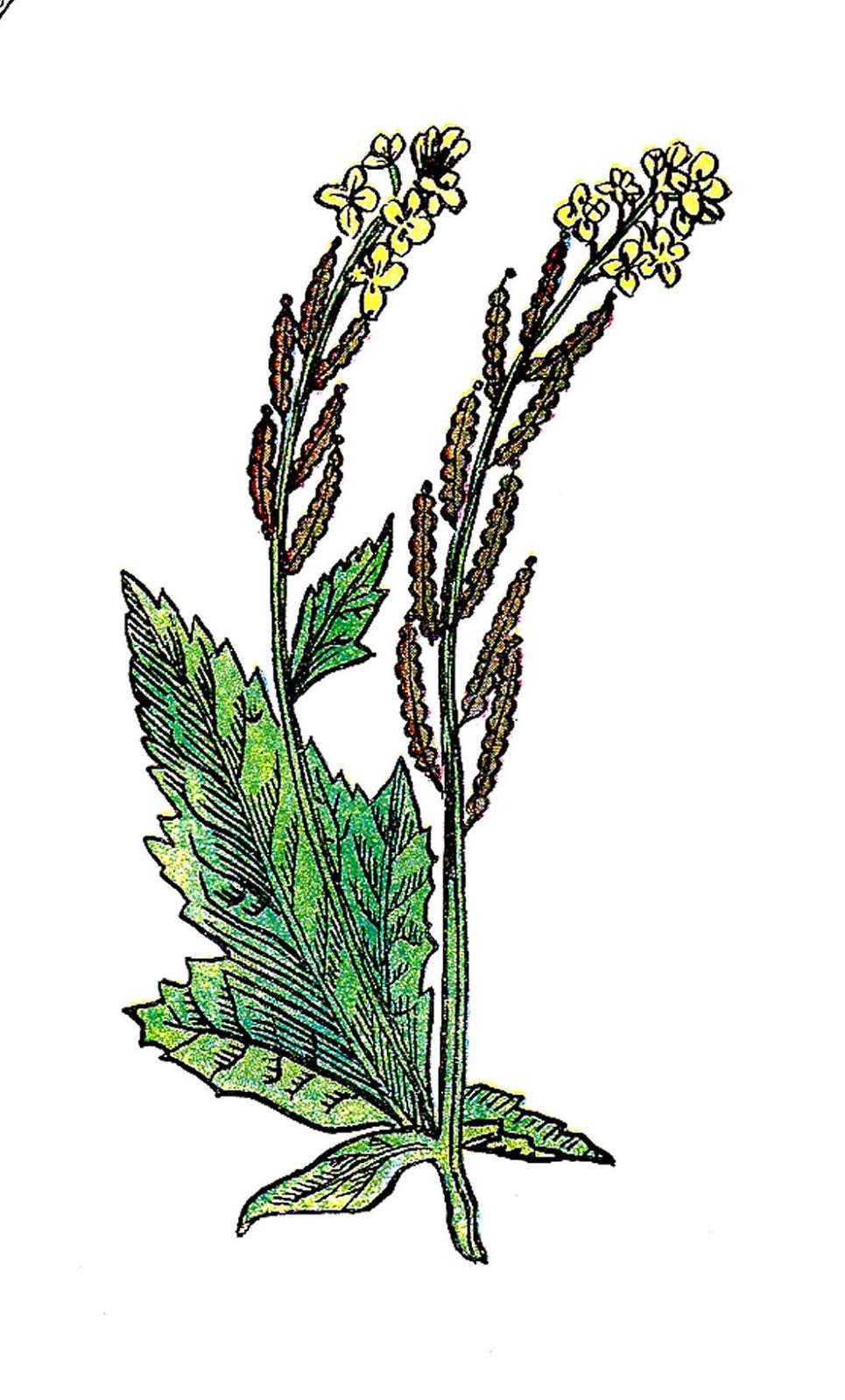 Antique Images: Free Botanical Clip Art: Vintage ...