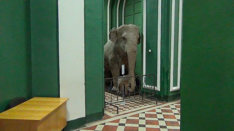 Слон в Зоологическом музее МГУ