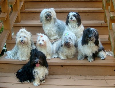 Havanese on steps