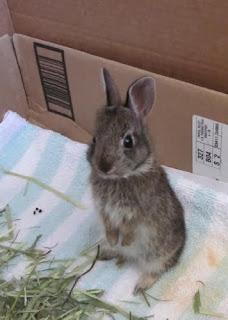 wild baby rabbit