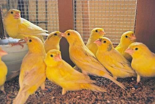 Gambar Cara Merawat Burung Bekisar