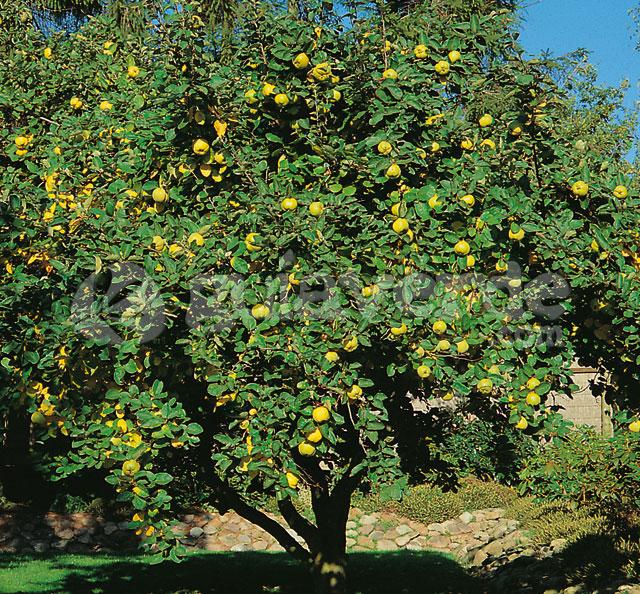 membrillo cydonia oblonga frutas del mundo