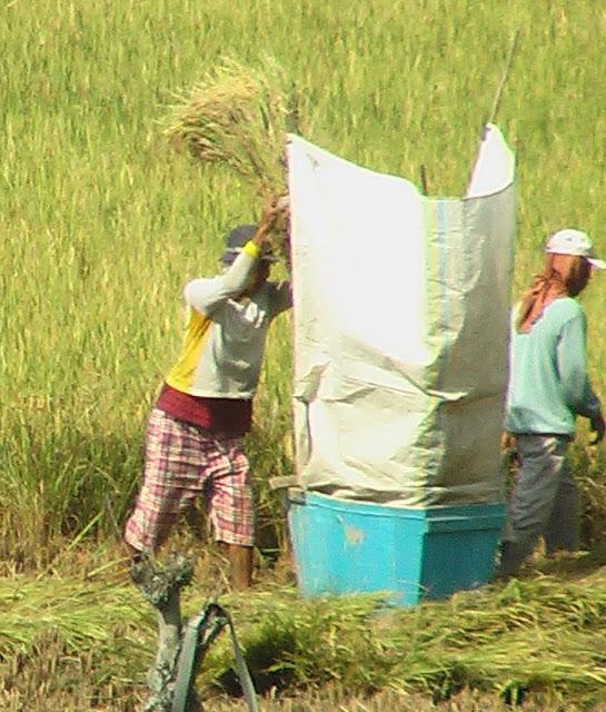 Mengirik Padi di Minangkabau