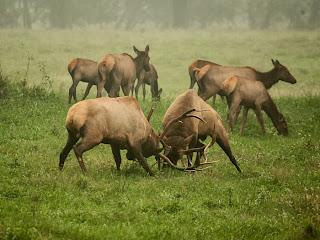 Bull Elk Fight