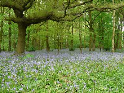 British Bluebells, Speke Hall