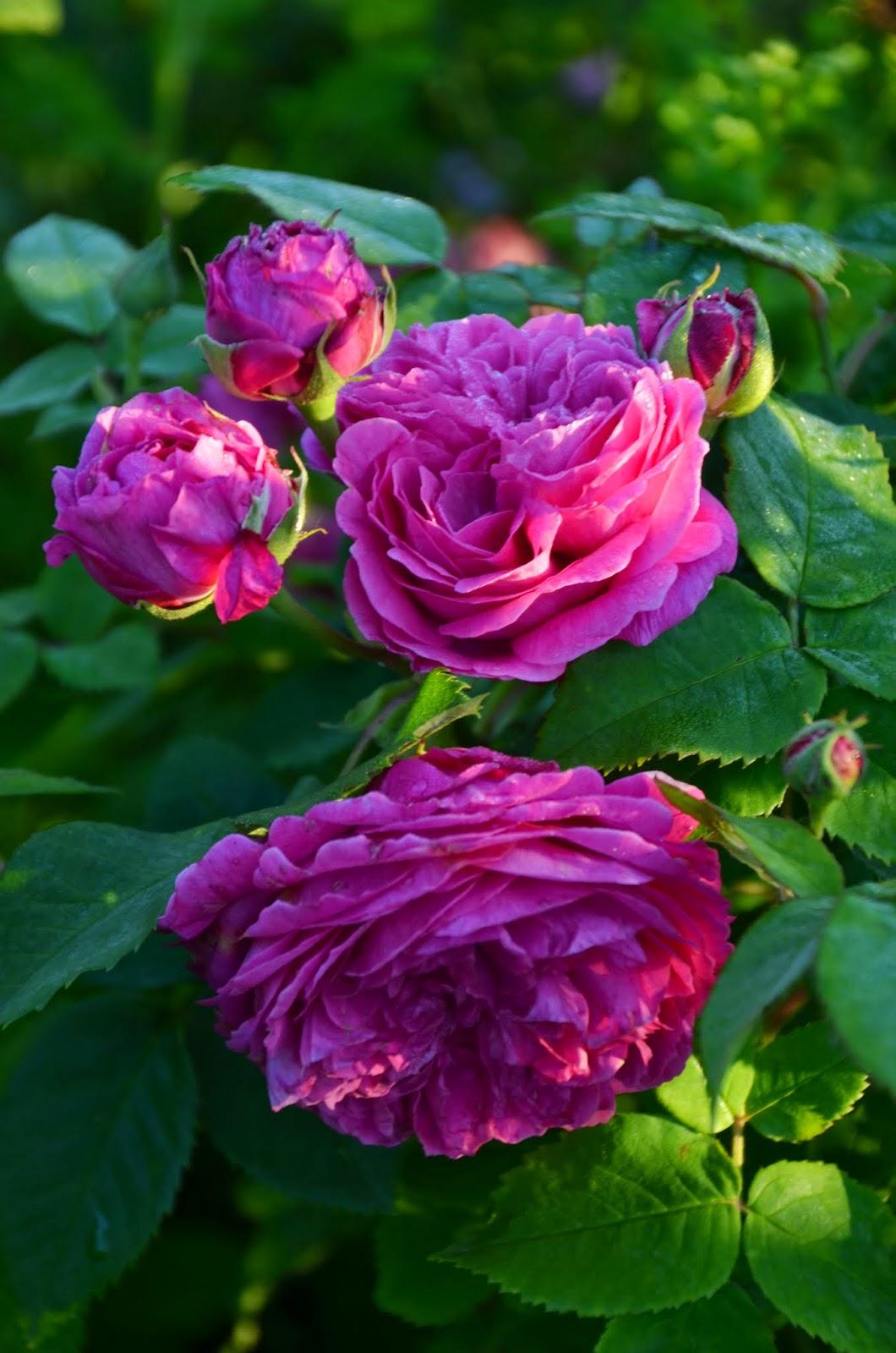 Mon Jardin Mes Merveilles Roses Entre Ombre Et Lumi Re 3 3