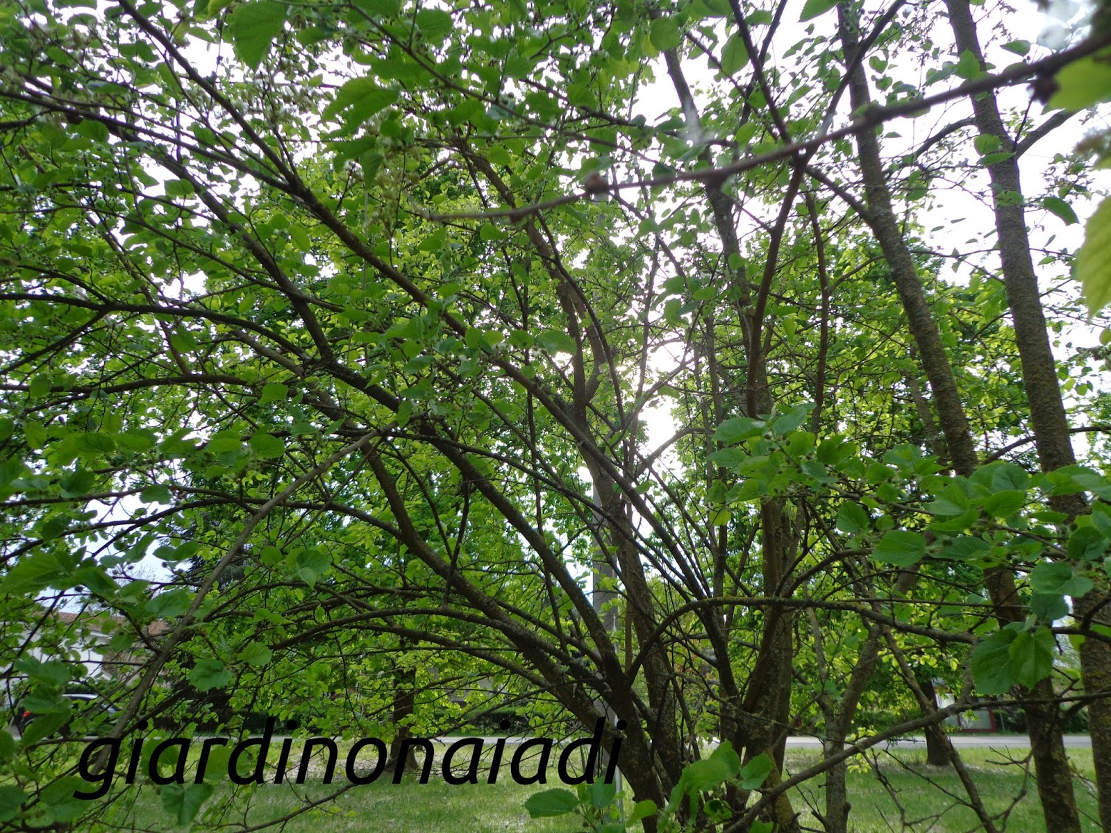 Il giardino delle naiadi la pazienza del gelso for Gelso pianta