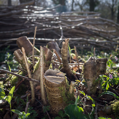 Coppicing © Graham Dew 2013