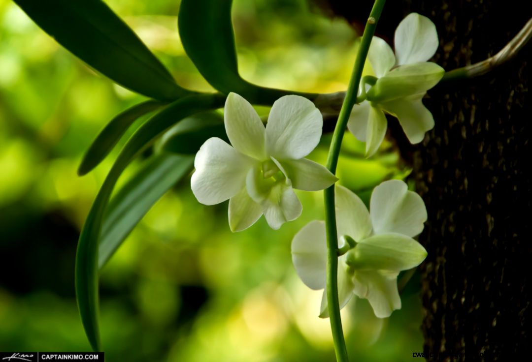 White Orchid Flower Growing on Tamarin Tree