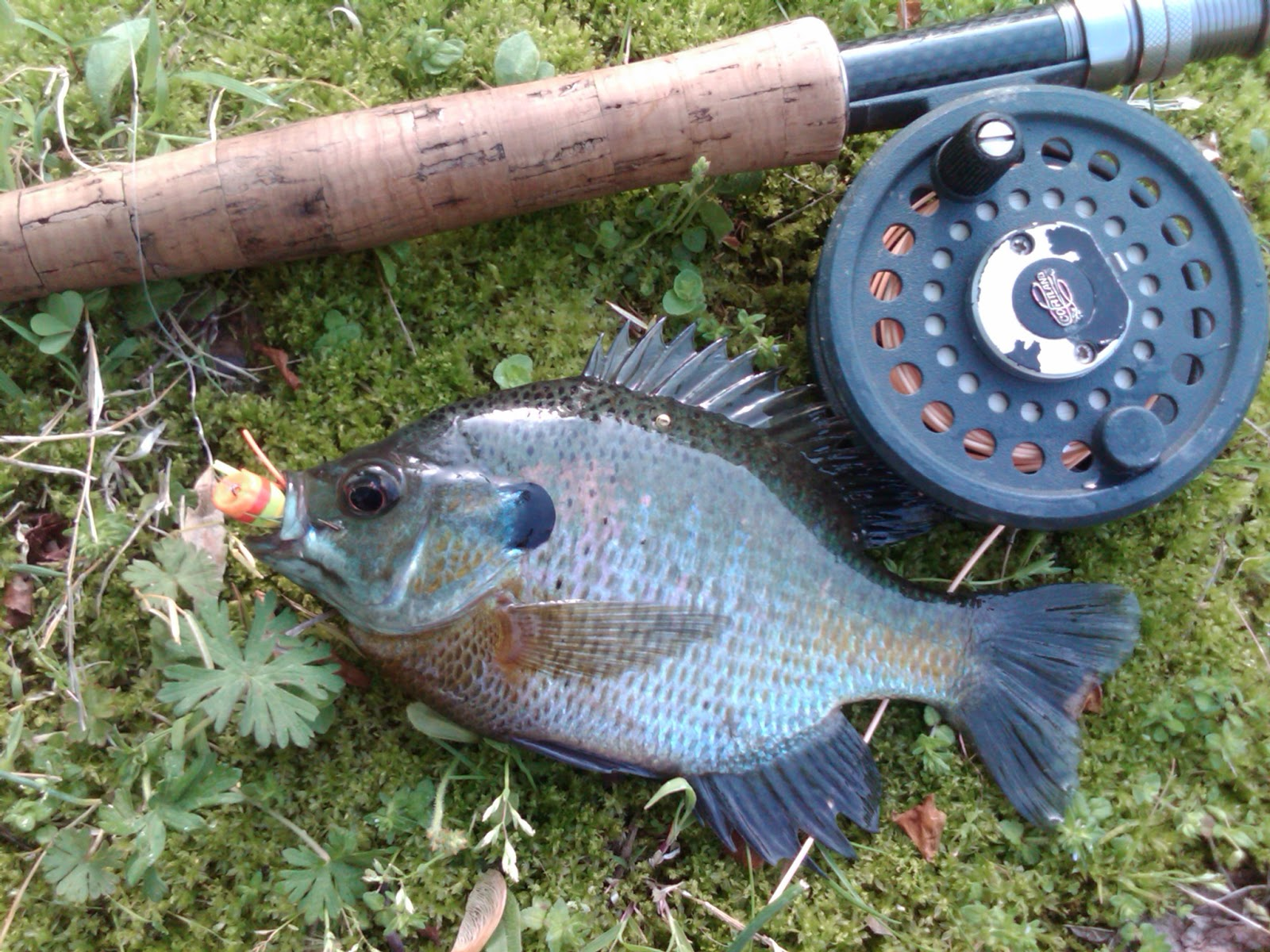 Fly fishing tying obsessed the year of the bluegill for Fly fishing for bluegill
