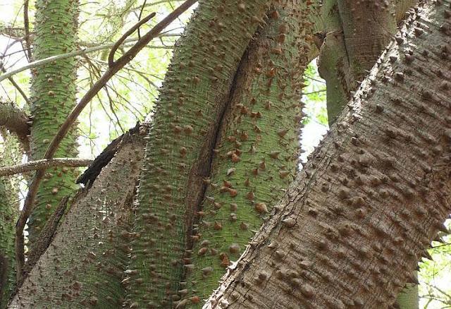 أذكى وأقوى شجرة بالعالم شجرة