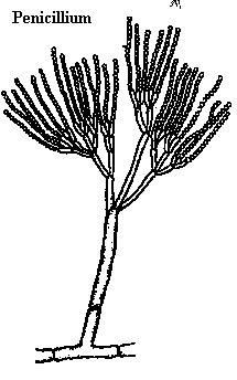 penisilium ASCOMICOTYNA