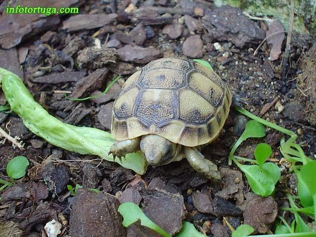 Cría recién nacida de tortuga mora