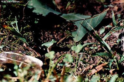 tree+frog+hyla+avivoca Kodok Kodok yang Pintar Menyamar