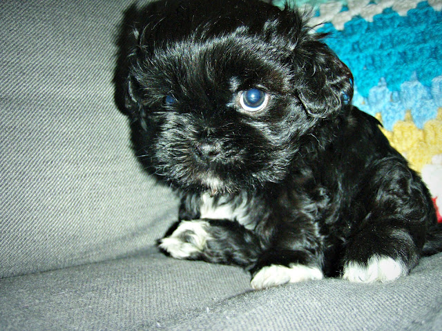 black white shih tzu pocket puppie 5 weeks old