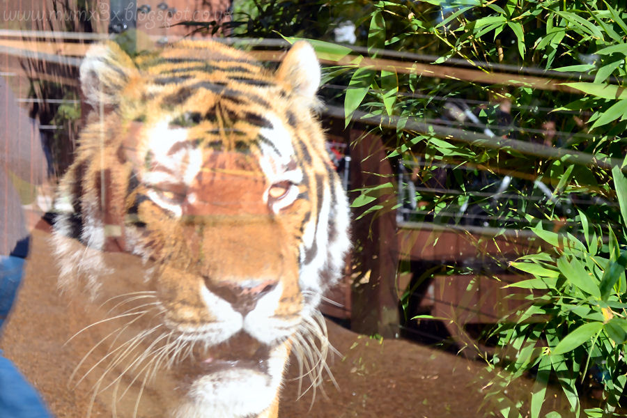 Tiger at Colchester zoo