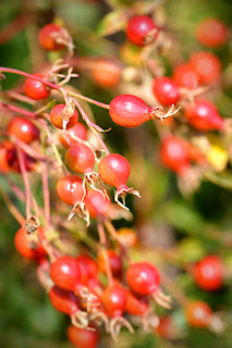 Wild rose hips (c) John Ashley