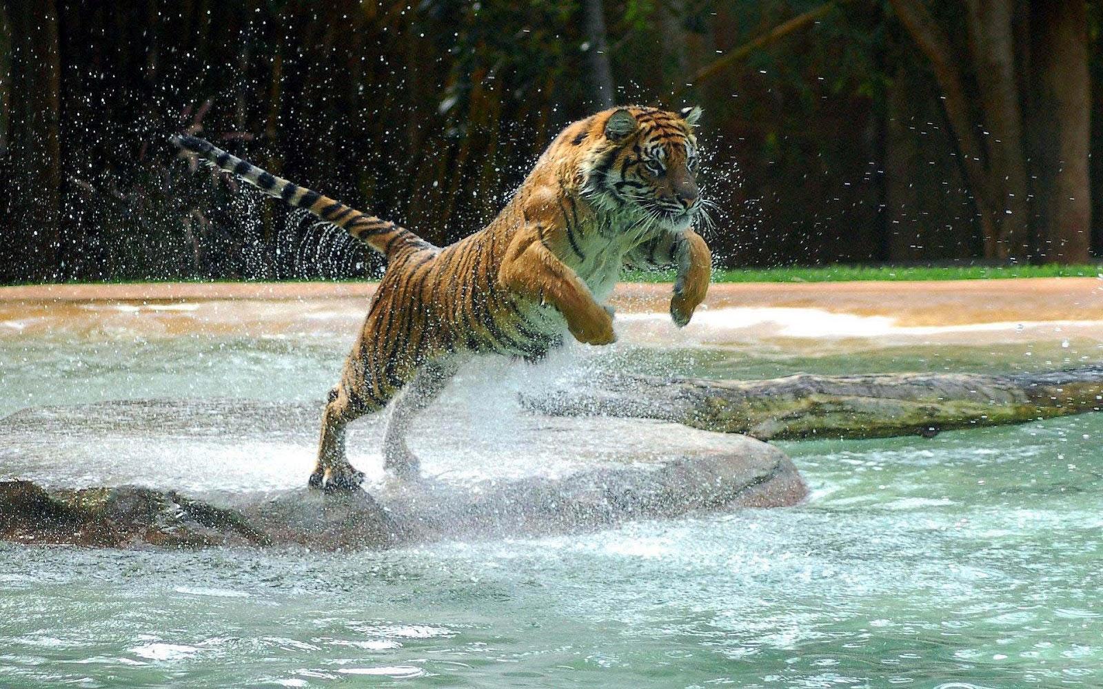 Tijger wallpaper met een aanvallende en springende tijger | HD tijgers