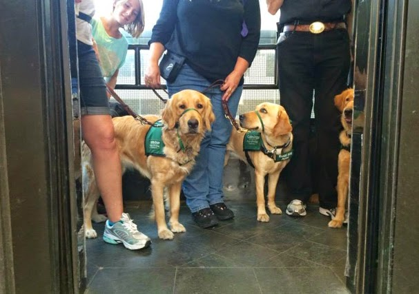 Two Golden Retriever guide dog puppies and one Yellow Lab on an elevator.