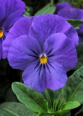 Imágenes de Violetas