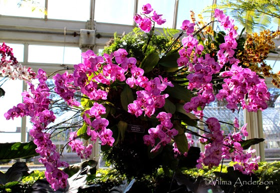 Phalaenopsis arranged as chandeliers hanging at the NYC Botanical Gardens conservatory