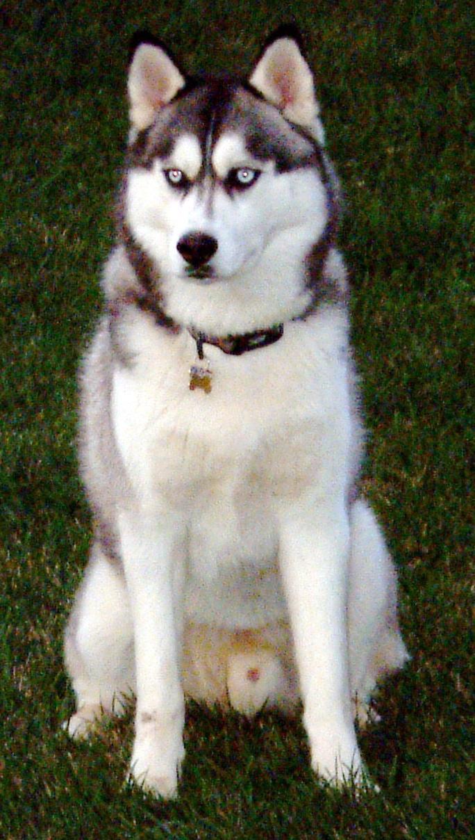 anjing siberian husky termasuk dalam jenis anjing ras anjing ras ini