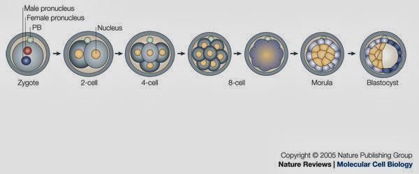 Darwiniano Curso 2015/16: 3ESO - Del cigoto al blastocisto