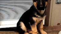 Extra Large German Shepherd Puppies For Sale