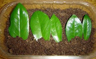 zamioculcas reproduccion por esquejes de hoja
