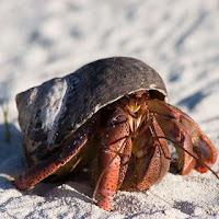 cangrejo ermitaño - crustáceo