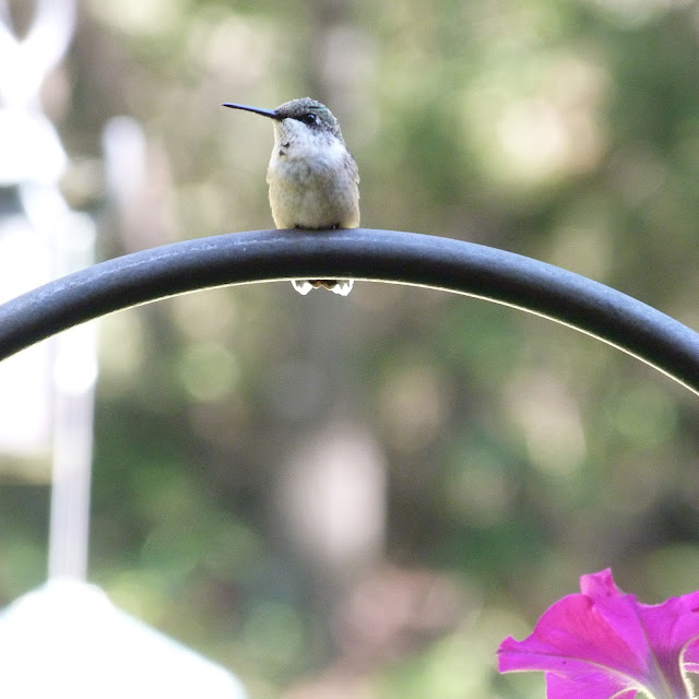 hummingbird rests