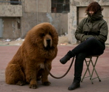 Tibetan Mastiff Dog For Sale