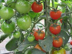 """Tomate """"Cherry Redondo"""""""